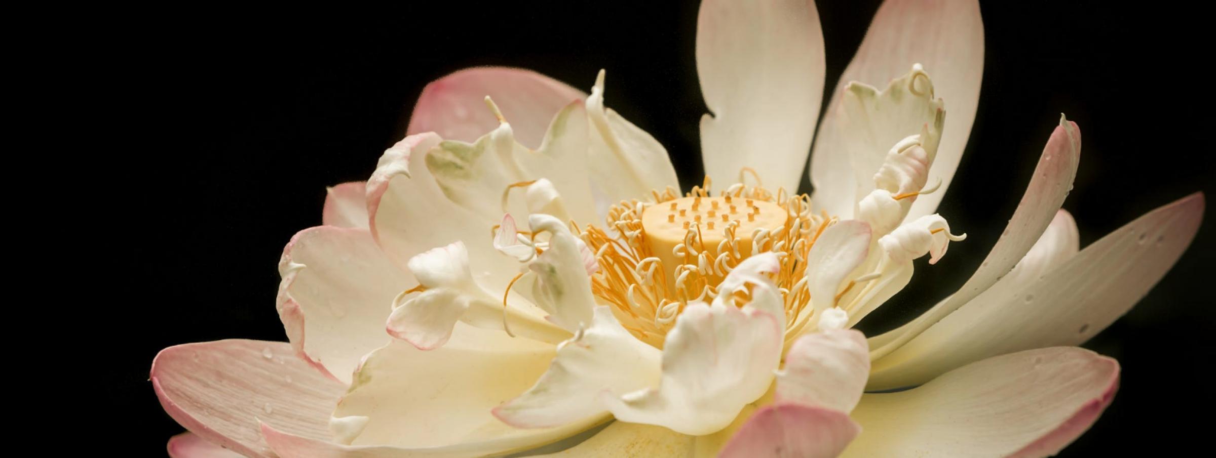 dark and light lotus
